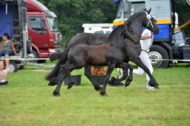 verslag en foto s fokdag 2015 fokvereniging het friese
